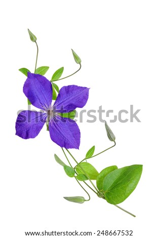 beautiful purple clematis flower isolated on white  - stock photo