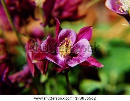 Beautiful purple columbine flower - stock photo