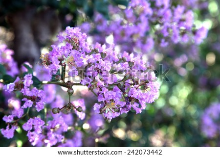 Beautiful purple crepe myrtle flower - stock photo