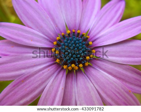 Beautiful purple daisy in a close up