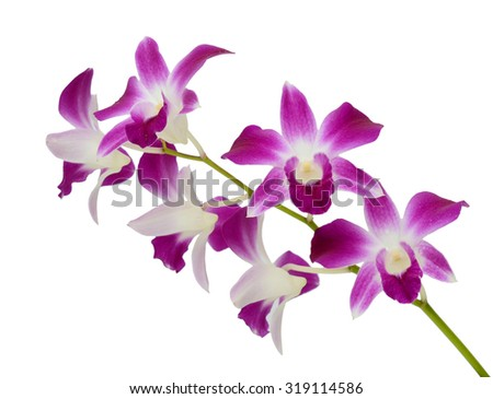 beautiful Purple Dendrobium orchids flowers isolated on white background - stock photo