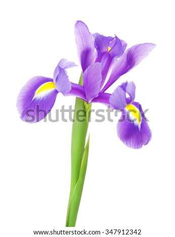 beautiful purple flower iris, isolated on white - stock photo