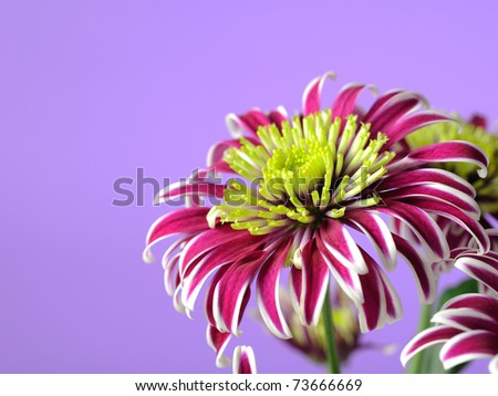 Beautiful purple flower over light violet background - stock photo
