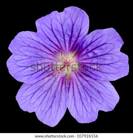 Beautiful purple geranium flower with visible veins in petals isolated