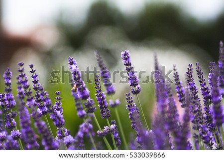Beautiful purple lavender flowers . Lavender field