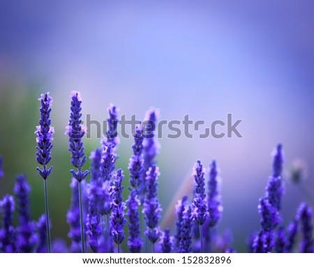 Beautiful purple lavender stalks background - stock photo