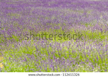 Beautiful purple lavender texture field - stock photo