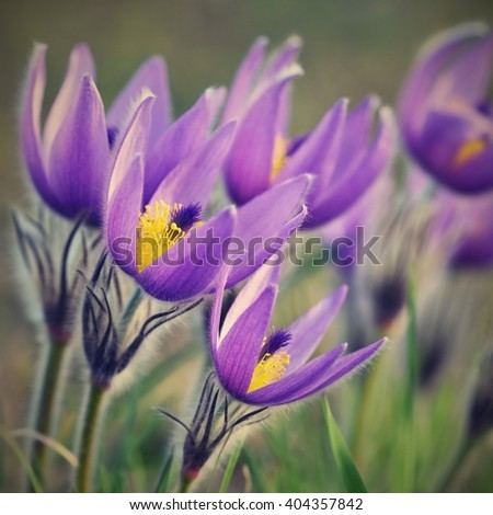 Beautiful purple little furry pasque-flower. (Pulsatilla grandis) Blooming on spring meadow at the sunset. Blooming spring flowers. Natural colored blurred background.  - stock photo