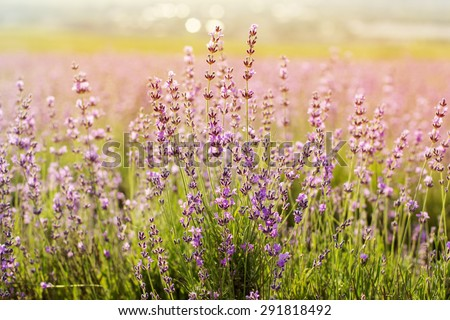 Beautiful purple meadow of lavender flowers - stock photo