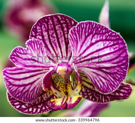 beautiful purple orchid blossom flower tropical close up - stock photo