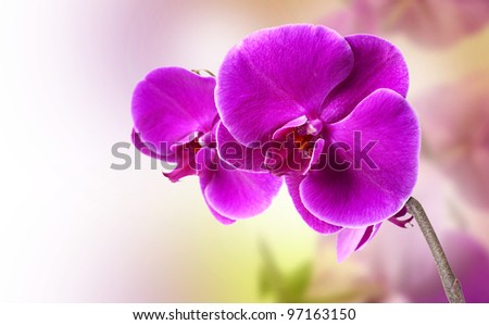 beautiful purple orchid on white background
