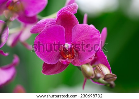 Beautiful purple orchid - phalaenopsis. Phalaenopsis known as the Moth Orchid. - stock photo
