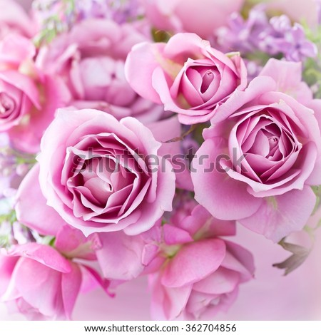 beautiful purple rose flower close-up. - stock photo