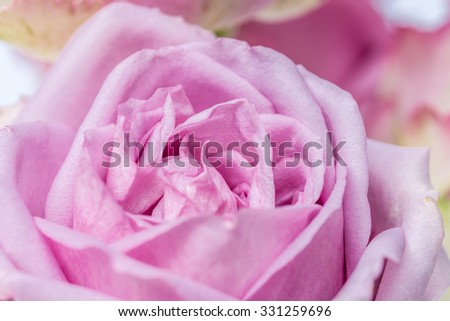 Beautiful purple rose in soft color and soft blurred style for background.