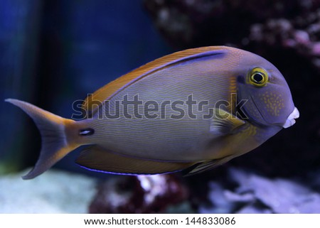 beautiful purple surgeon fish swims among the corals - stock photo
