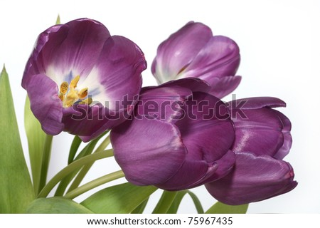Beautiful purple tulips - stock photo