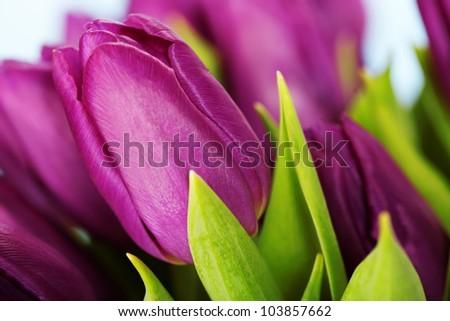 Beautiful purple tulips - close up shot - stock photo