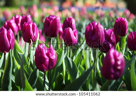 Beautiful purple tulips in spring garden. Warm sunny day. Keukenhof, Netherlands.