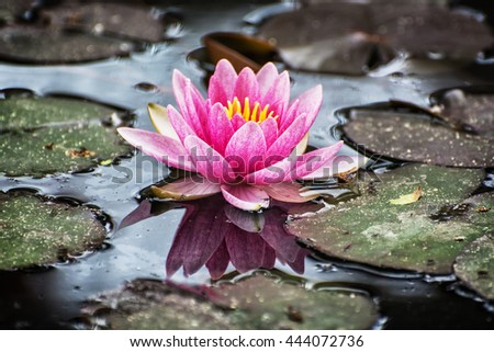 Beautiful purple water lily - Nymphaeaceae - in the garden pond. Cold photo filter. Seasonal natural background. Beauty in nature. - stock photo