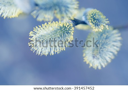 Beautiful pussy willow flowers branches on blurred natural background