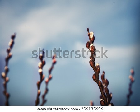 Beautiful pussy willow flowers branches. Soft floral spring frame with very shallow DOF on white background - stock photo