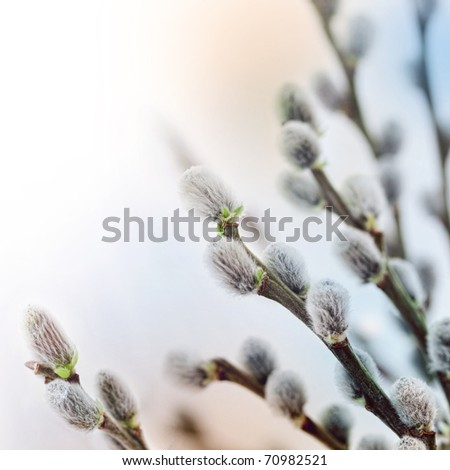 Beautiful pussy willow flowers branches. Soft floral spring frame with very shallow DOF on white background. - stock photo