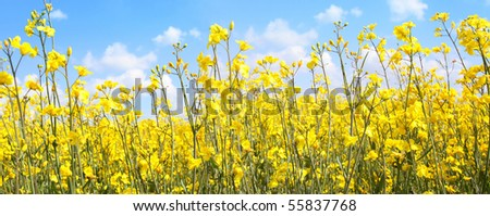 Beautiful rapeseed fields close up against blue sky