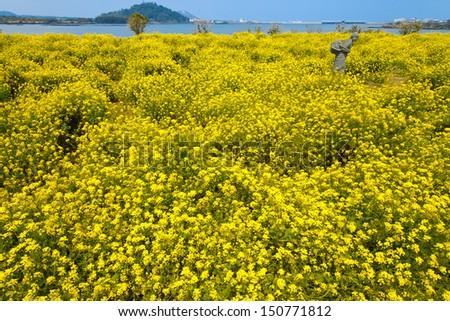 Beautiful rapeseed flower field - stock photo