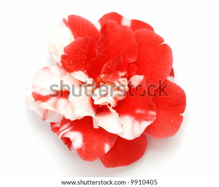 Beautiful red and white camellia japonica (japanese rose) macro with drops of dew isolated