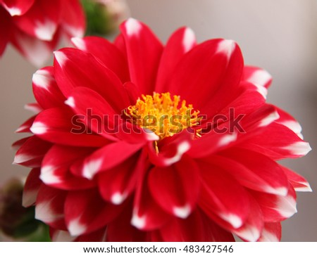 Beautiful red and white dahlia flowers