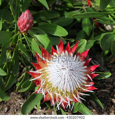 Beautiful red and white Protea flowers surrounded by green leaves - stock photo