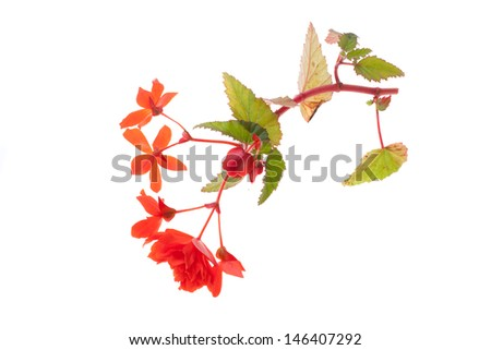 beautiful red begonia isolated on white background - stock photo
