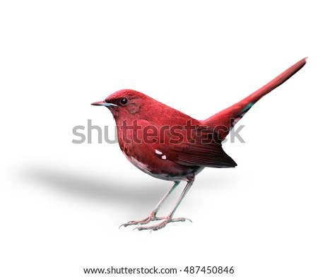 beautiful red bird with high tail lifting