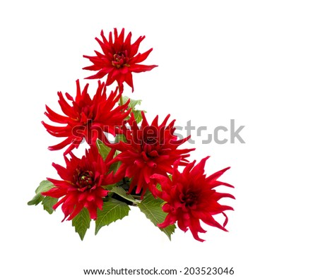 Beautiful red blooming dahlias on white background - stock photo
