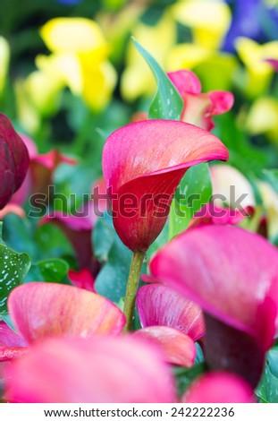 Beautiful red calla lilies - stock photo