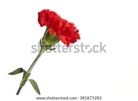 Beautiful red carnation isolated on a white background.