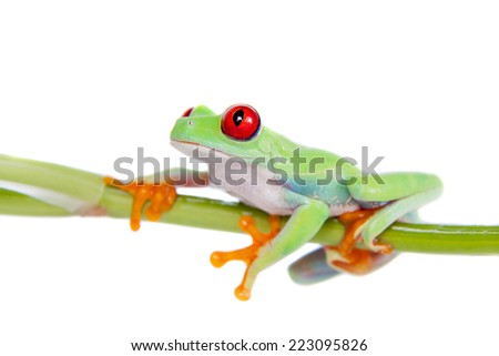 Beautiful red eyed tree frog on white background - stock photo