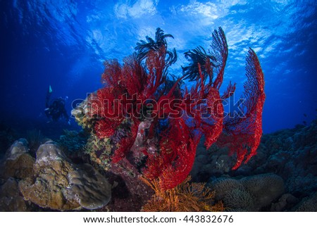 Beautiful red fan coral, with silhouette of a diver behind. Indonesia, Nusa Penida. - stock photo