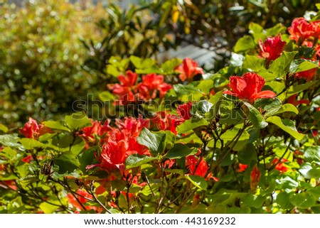 Beautiful Red flower, Rhododendron, Azalea. Light shining through petals. Close up of red Rhododendron blooms on bush under bright sun. Floral natural backdrop.  Many, a lot of blooming azalea flowers - stock photo