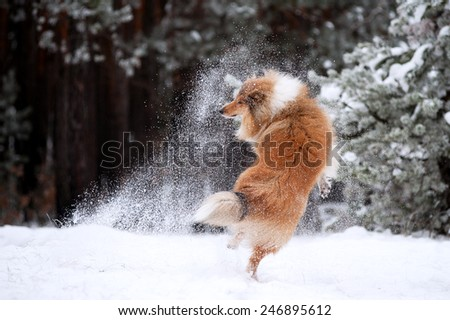 Beautiful red fluffy dog collie playing with snow in the woods and jumping on the background of pine trees - stock photo