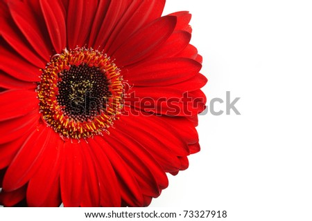 Beautiful red gerber flower part macro studio shot. isolated on white background