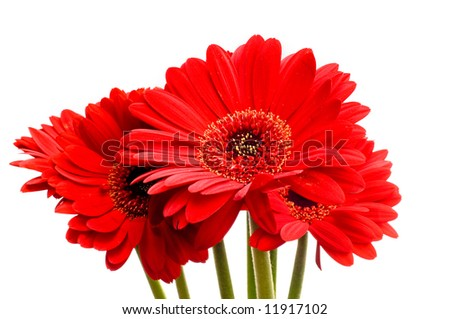 beautiful red gerbera (daisy) flowers on a white background