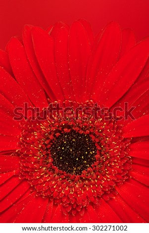 beautiful red gerbera flower, close up view - stock photo