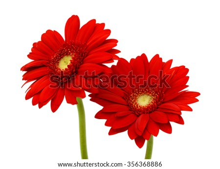 beautiful red gerbera flowers isolated on white background