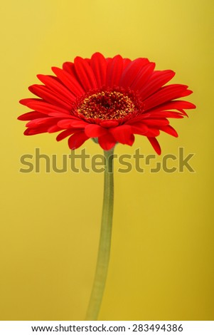 Beautiful red gerbera on a yellow background. - stock photo