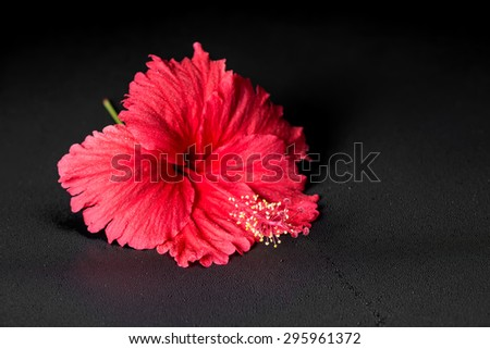 beautiful red hibiscus flower with dew on black background, closeup, spa background - stock photo