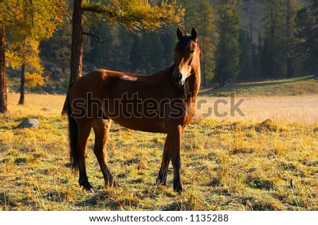 beautiful red horse. Altay - stock photo