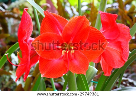 Beautiful red lily on the flower garden. - stock photo