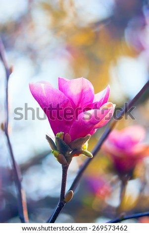 Beautiful red Magnolia tree flower that is blooming one of the first in Spring Time, in soft focus. Fresh dreamy morning spring atmosphere background. - stock photo