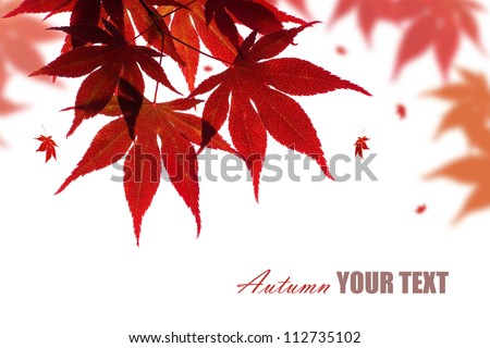 Beautiful red maple branch isolated on white with falling leaves - stock photo